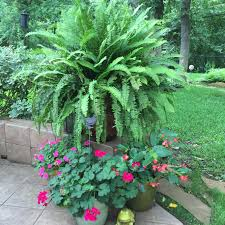 kimberly queen fern inpatients geraniums u0026 dragon wing begonia