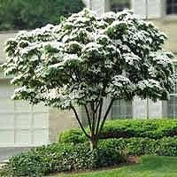 kousa dogwood specimen tree for front garden possibility