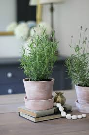 white washing terra cotta pots u0026 tips for growing lavender indoors