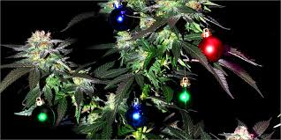 7 holidaze themed strains you need to get through silly season