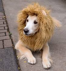 Dogs Halloween Costumes Pictures Lion Dog Costume 5 Steps Pictures