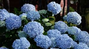 Hydrangea by 29 Ways To Grow Hydrangeas In Containers Southern Living