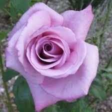 Fragrant Plants Mauve Fragrant Plum Rose Plants