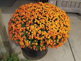 decorate fall mums grows hugh conlon