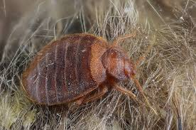 Bed Bugs What To Do What To Do About Bed Bugs Us Bed Bug Treatment