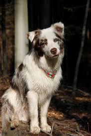 australian shepherd welpen 4 monate wachstum australian shepherd aussie de