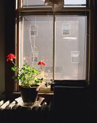 The Geranium On The Windowsill Just Died Overwintering Geraniums Frugal Upstate