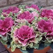 9 best ornamental cabbage images on ornamental cabbage