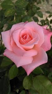 best 25 beautiful rose flowers ideas on pinterest beautiful