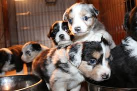 3 4 australian shepherd 1 4 blue heeler home stonger miniature and standard aussies