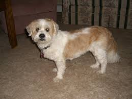 american eskimo dog jack russell mix available dogs