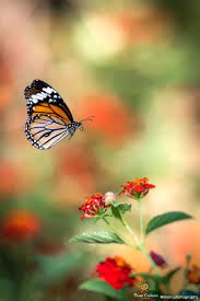 270 best monarch butterfly images on pinterest monarch butterfly