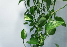 best low light house plants garden houseplants for low light golden pothos golden pothos