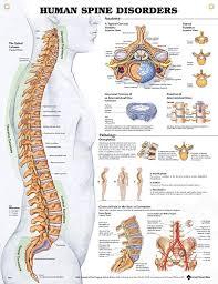 Anatomy Of Vertebral Body Top 25 Best Spine Health Ideas On Pinterest Spinal Column