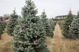 choose and cut or fresh pre cut blue spruce christmas trees
