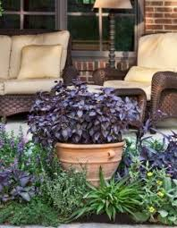 Fragrant Patio Plants - purple basil from bonnie plants use this fragrant edible as an