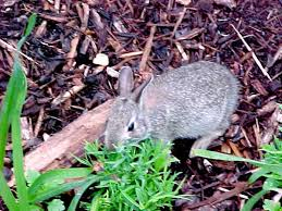 Rabbit Repellent For Gardens by Rabbits
