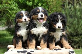 belgian sheepdog dogs 101 dogs 101 bernese mountain dog dogtime