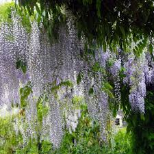 wisteria floribunda macrobotrys lilac climbing wisteria trees