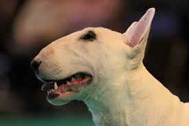 pedigree dogs exposed the blog bull terriers head case