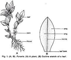 life cycle of funaria with diagram bryopsida