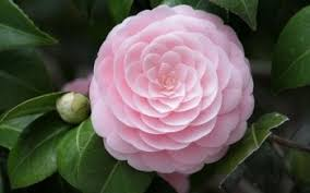 camellia flowers 24 camellia hd wallpapers background images wallpaper abyss