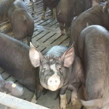 we are pig farmers food u0026 swine