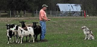 australian shepherd owners farm tour 2014 u2013 longbranch chronicles