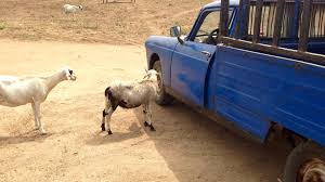 peugeot nigeria sheep and a blue peugeot 404 pickup truck odoragunshin epe