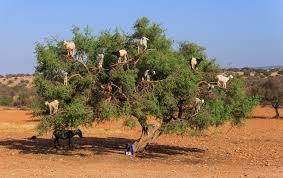 goats that climb trees interesting facts