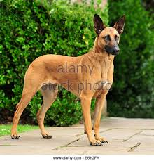 belgian sheepdog guard dog belgian shepherd stock photos u0026 belgian shepherd stock images alamy