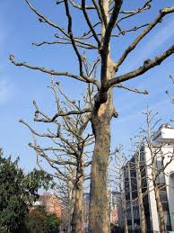 the secret history of the plane tree londonist