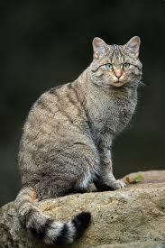 wildcat wikipedia