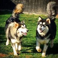 australian shepherd x husky my dog dakota australian shepherd husky husky mix and