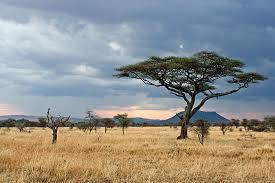 serengeti plain with acacia tree photo aivar mikko photos at