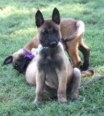 belgian shepherd oklahoma about alouette u0027s quick on the draw