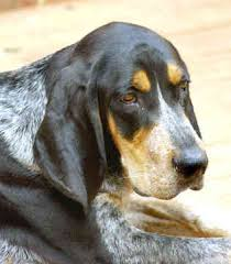 6 month old bluetick coonhound weight blue tick hounds awww just me pinterest dog