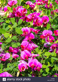 lathyrus latifolius herbaceous perennial climbing garden plant