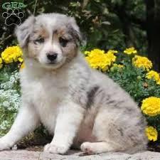 australian shepherd for sale miniature australian shepherd mix puppies for sale greenfield