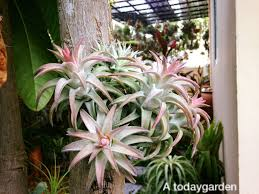 native florida air plants 239 best air plants images on pinterest air plants cacti and