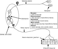 Motor Reflex Arc Neuron Imp Gen Reflex Arc Notes Mrs N Nelson U0027s Science Website