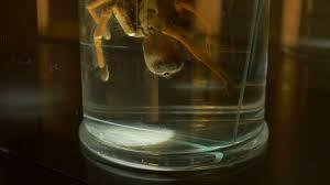 a creepy tarantula in biology laboratory kept for preservation