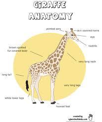 free giraffe worksheets this is a giraffe anatomy printable