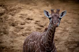 you can take a giraffe to water u2026 u2013 scatter feed