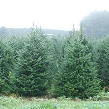 fraser fir tree fraser fir christmas tree citrus tower elliot s christmas trees