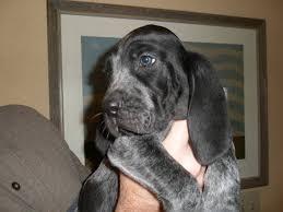 bluetick coonhound breeders indiana ukc old fashioned american blue gascon blueticks pics