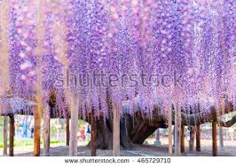 Trellis For Wisteria Wisteria Stock Images Royalty Free Images U0026 Vectors Shutterstock