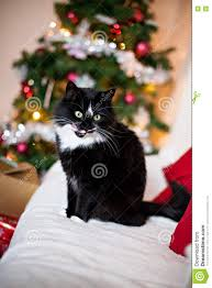 black and white cat in front of christmas tree stock photo image