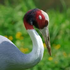 sarus crane wikipedia