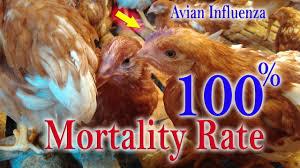 avian influenza h5n1 bird flu in unvaccinated chickens chicken